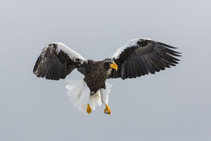 animals/stellers fish eagle flying wintering shiretoko