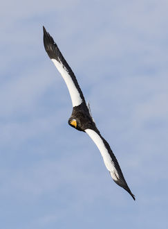animals/stellers sea eagle flying wintering shiretoko