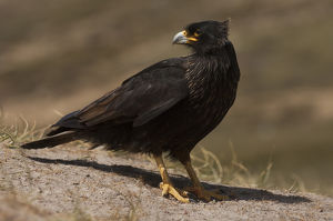 Striated Caracara or Johnny Rook (Phalcoboenus australis) They obtain much of