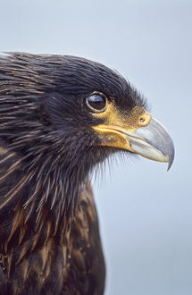 Striated Caracara or Johnny Rook (Phalcoboenus australis) on the Falkland Islands