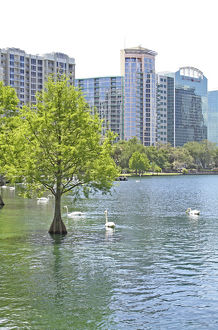 Swans at Lake Eola Park, Orlando Florida