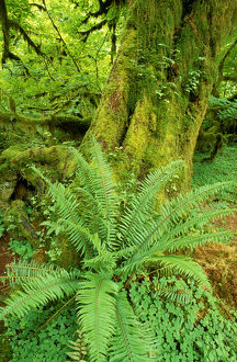 landscape/sword fern moss covered old growth hoh rain forest