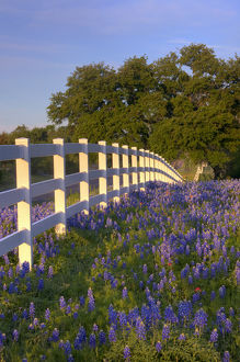 Texas bluebonnets(Lupinus texensis) along white fenceline. Texas, USA, North America
