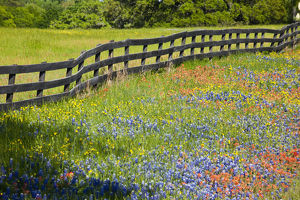Texas, USA, North America. Wildflowers along fenceline