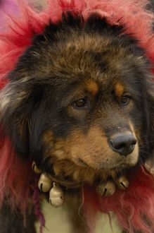 Tibetan mastif dog to compete at the Horse Racing Festival or 'Heavenly Steed Festival