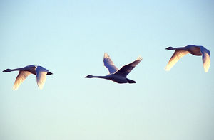 Trumpeter swans (Cygnus buccinator) in flight with wings backlit by sunlight; three