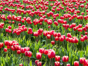 floral botanical/tulip fields bloom