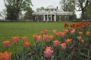 Tulips in garden of Monticello, home of U.S. President Thomas Jefferson, built 1769-1808