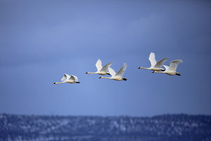 Tundra Swans in flight, Cygnus columbianus, Klamath Basin, Klamath Falls, Oregon