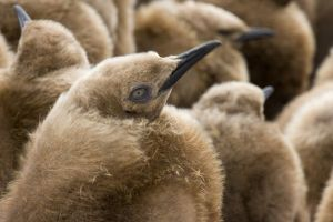 UK Territory, South Georgia Island. Close-up of young king penguin chicks in brown coats