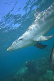 underwater view of Bottlenose Dolphins (Tursiops truncatus), Roatan, Bay Islands