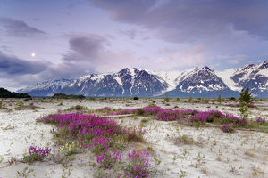 USA, Alaska, Alsek River Valley. View of wildflowers and Fairweather Range. Credit as