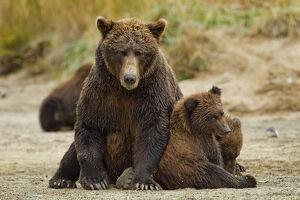 USA, Alaska, Katmai National Park, Grizzly Bear (Ursus arctos) sow and cubs resting
