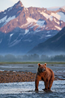USA, Alaska, Katmai National Park, Grizzly Bear (Ursus arctos) standing in salmon