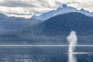 USA, Alaska, Tongass National Forest. Humpback whale spouts on surface. Credit as