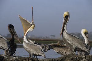 USA, California, Brown Pelicans, Monterey