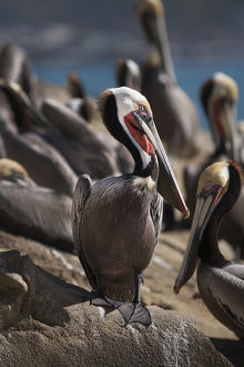 USA, California, La Jolla. Brown pelicans on beach