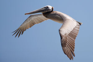 USA; California; La Jolla; San Diego; A Pelican Flying over the Pacific Coast