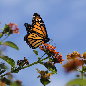 USA, California. Monarch butterfly on lantana flower