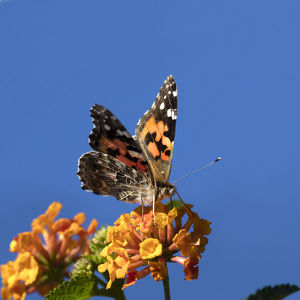 USA, California. Painted lady butterfly on lantana flowers