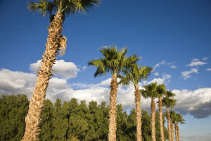 USA, California, Salton City. Salton Sea area, palm grove