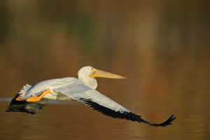 USA, California, Santee Lakes Park. White pelican flies over yellow and brown lake water