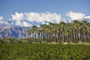 USA, California, Thermal. Palm grove and San Jacinto Mountains, winter