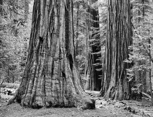USA, California, Yosemite National Park. Sequoia trees in the Mariposa Grove. Credit as
