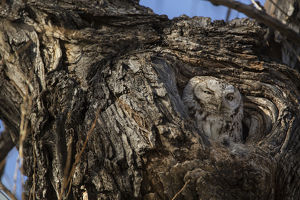 USA, Colorado, Fort Collins. Eastern screech owl in its nest opening