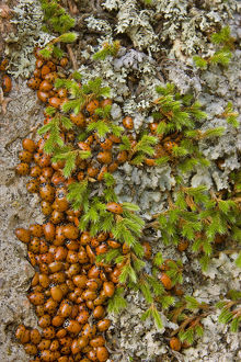 USA, Colorado, Pike National Forest. Detail of a swarm of ladybugs gathered on rocks