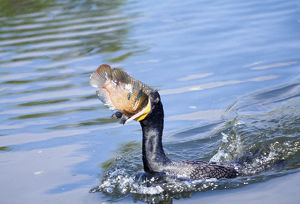 USA, Florida. Cormorant swallowing freshly caught fish