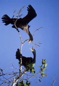 USA, Florida. Two double-crested cormorants interact in tree