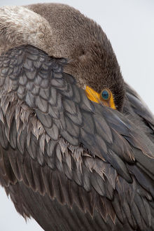 USA, Florida, Everglades National Park. Double-crested cormorant with its beak tucked