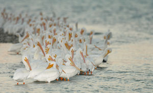 USA, Florida, Placida. Flock of white pelicans on sandbar