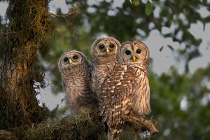 USA, Florida, Viera Wetlands. Three barred owls in tree