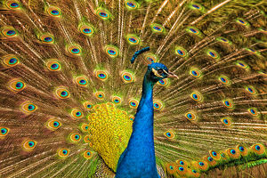 USA; North America; South Carolina; Charleston; Male peacock strutting in breeding