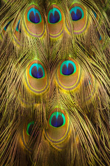 USA; North America; South Carolina; Charleston; Peacock feathers during breeding season