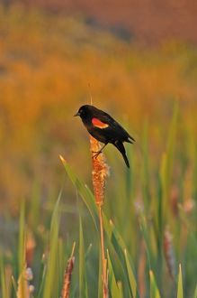 USA, Oregon, Portland. Red-winged blackbird clings to cattail stalk in meadow