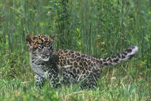 USA, Pennsylvania. African leopard cub walking in tall grass. (Rescue) Credit as