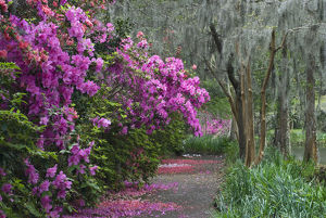 usa/south carolina/usa south carolina blooming azaleas middleton
