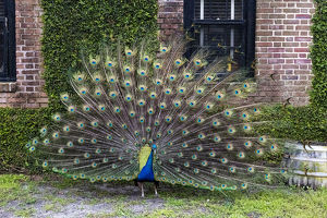 USA, South Carolina, Charleston, The Inn at Middleton Place, Displaying Peacock