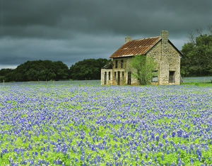 USA,Texas. Bluebonnets surround this abandoned ranch house near Marble Falls. Credit as