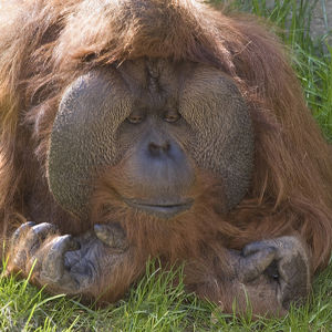 USA, Washington, Seattle. Close-up of male orangutan at the Woodland Park Zoo. Credit as