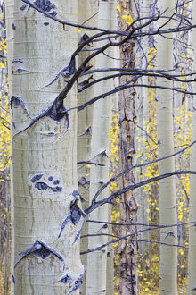 floral botanical/usa wyoming sublette county aspen trunks stand