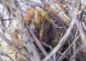 usa/usa wyoming sublette county porcupine sits