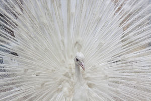 USA;North America; Fla; White peacock in breeding plumage