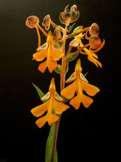 usa/variety orange orchid