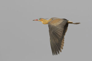 animals/whistling heron flying