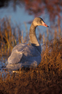 whistling swan, Cygnus columbianus, juvenile eating roots in the 1002 coastal plain