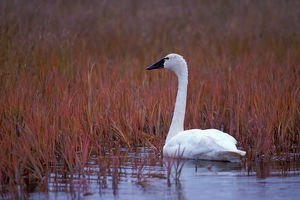 whistling swan, Cygnus columbianus, feeding on aquatic plants, 1002 coastal plain